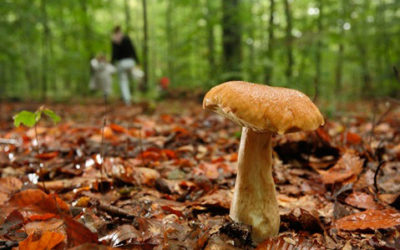 Llega el otoño y llegan las intoxicaciones por consumo de hongos y setas: algunos consejos